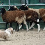 Scamp the sheep herder - pic03