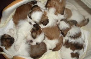 scamp pups