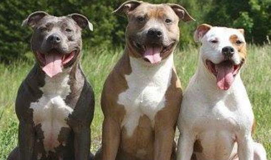 Pit bulls make wonderful pets and companions.