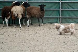 Scamp herding