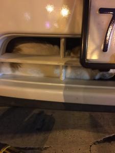 scamp cat