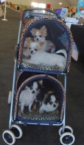 This is sooo cute from the recent dog show held at the Fairgrounds.